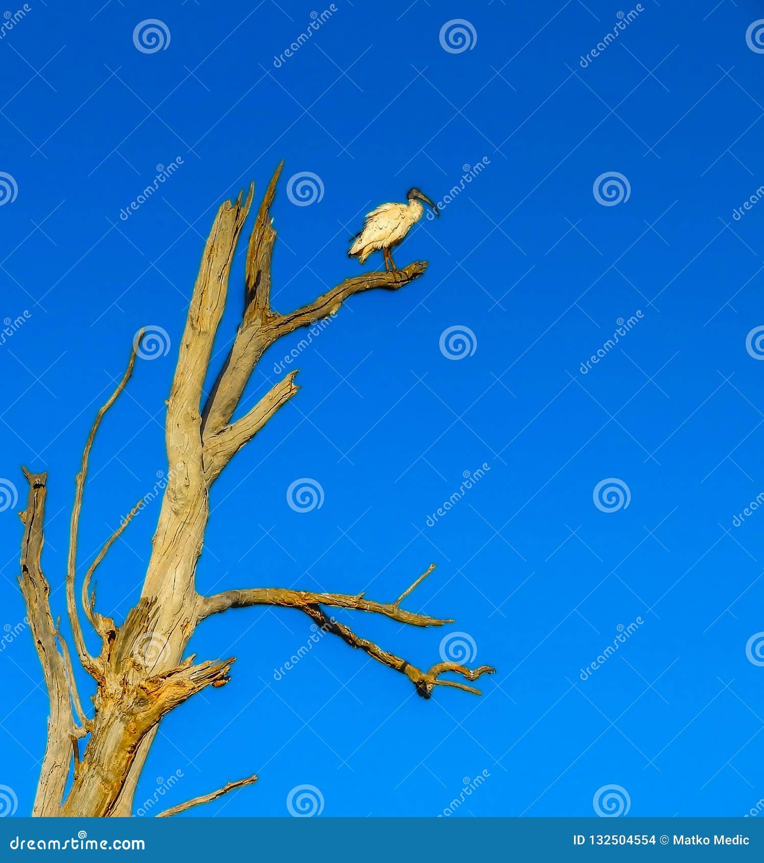 Сиротливая белая птица Ibis в дереве