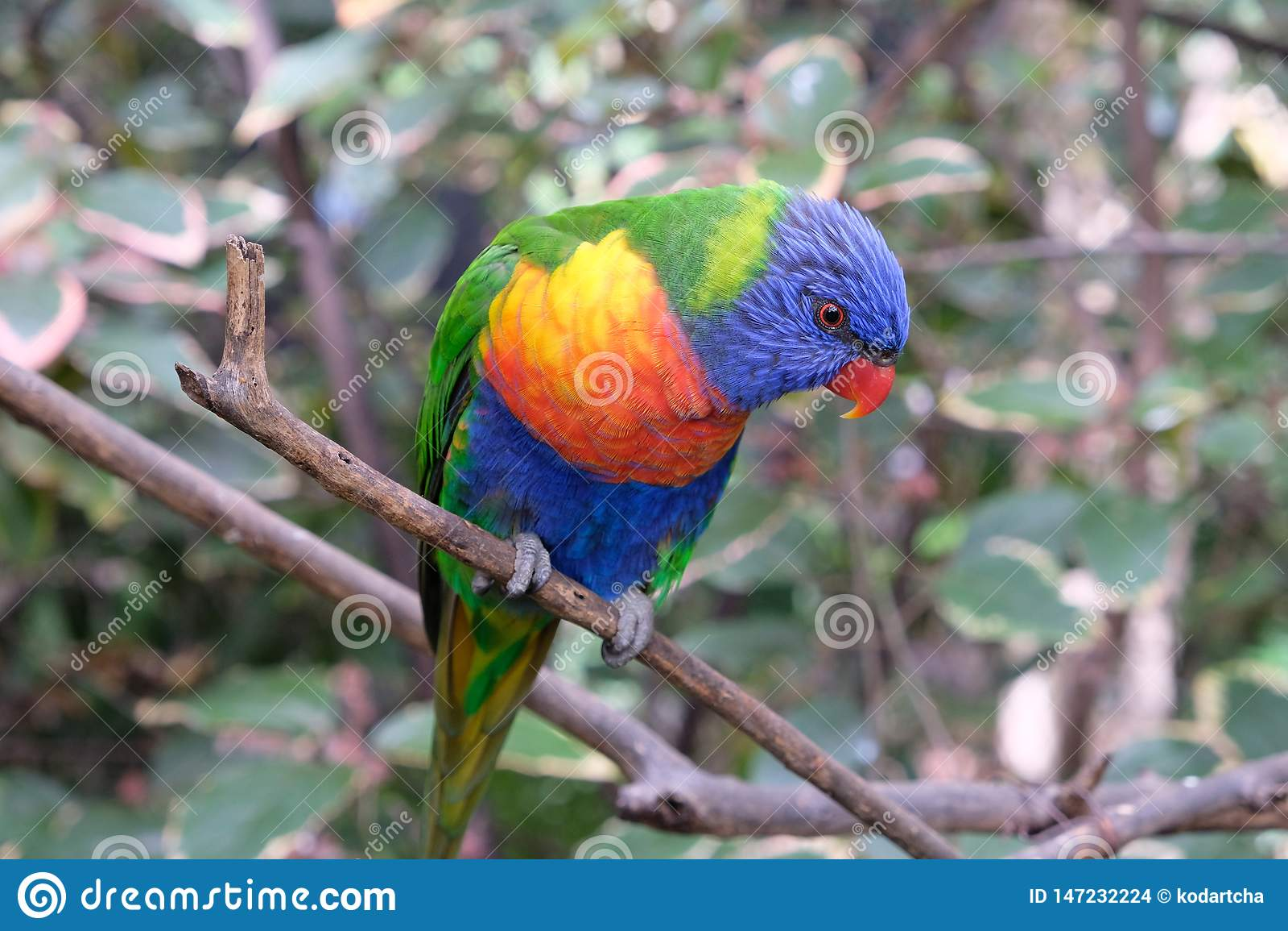 Сиротливый длиннохвостый попугай радуги на ветви дерева в плене