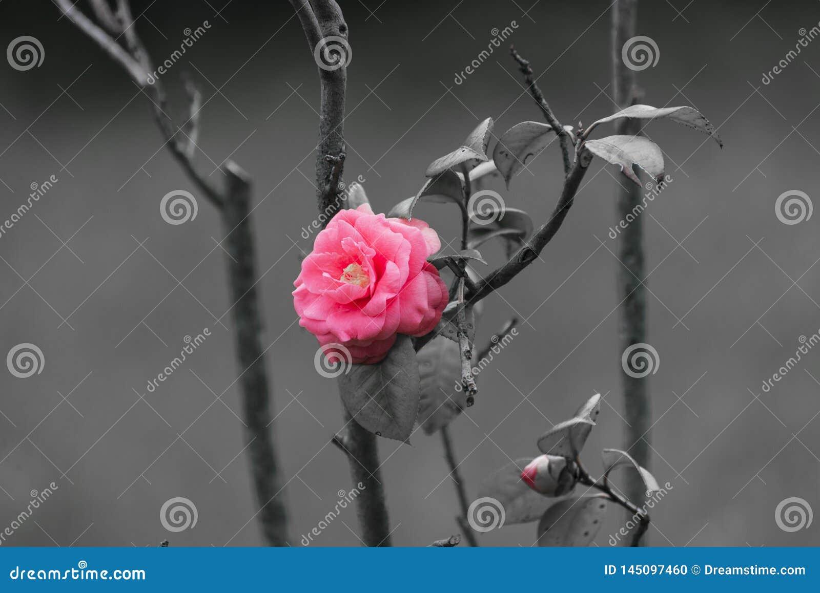 Сиротливый и выдающий розовый цветок