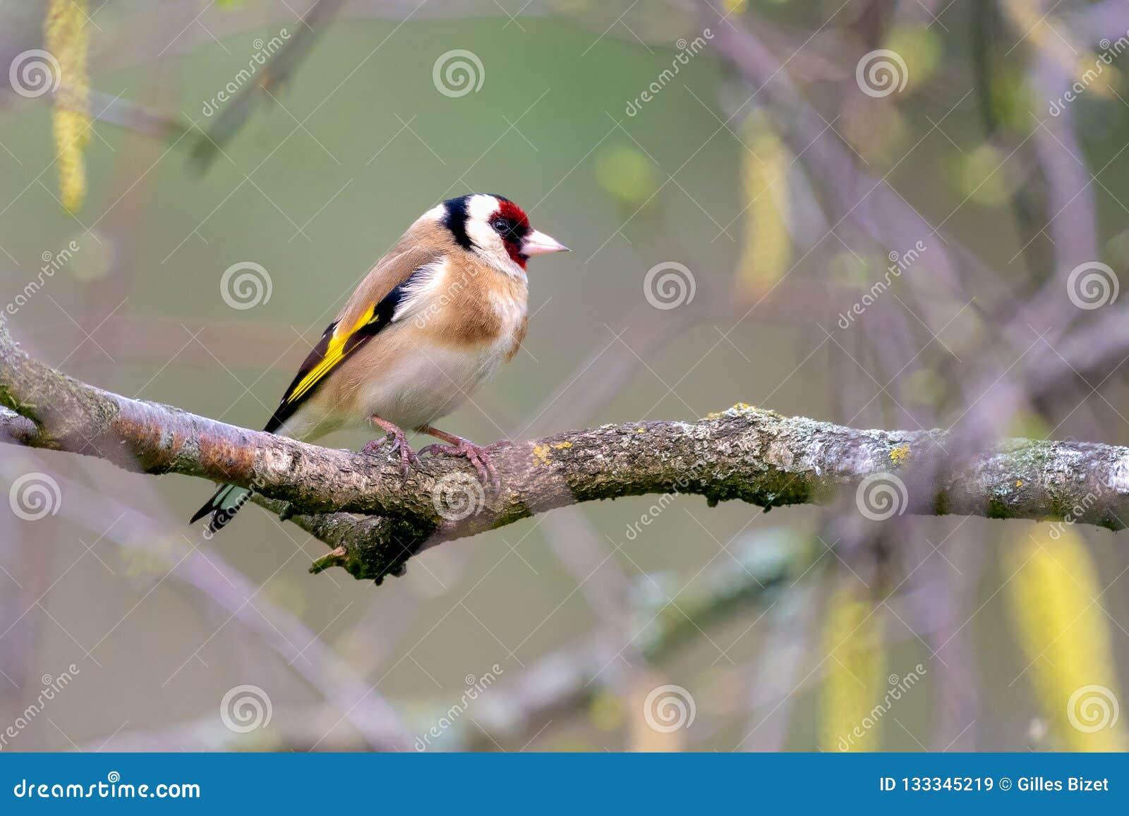 Сиротливый goldfinch отдыхая на ветви