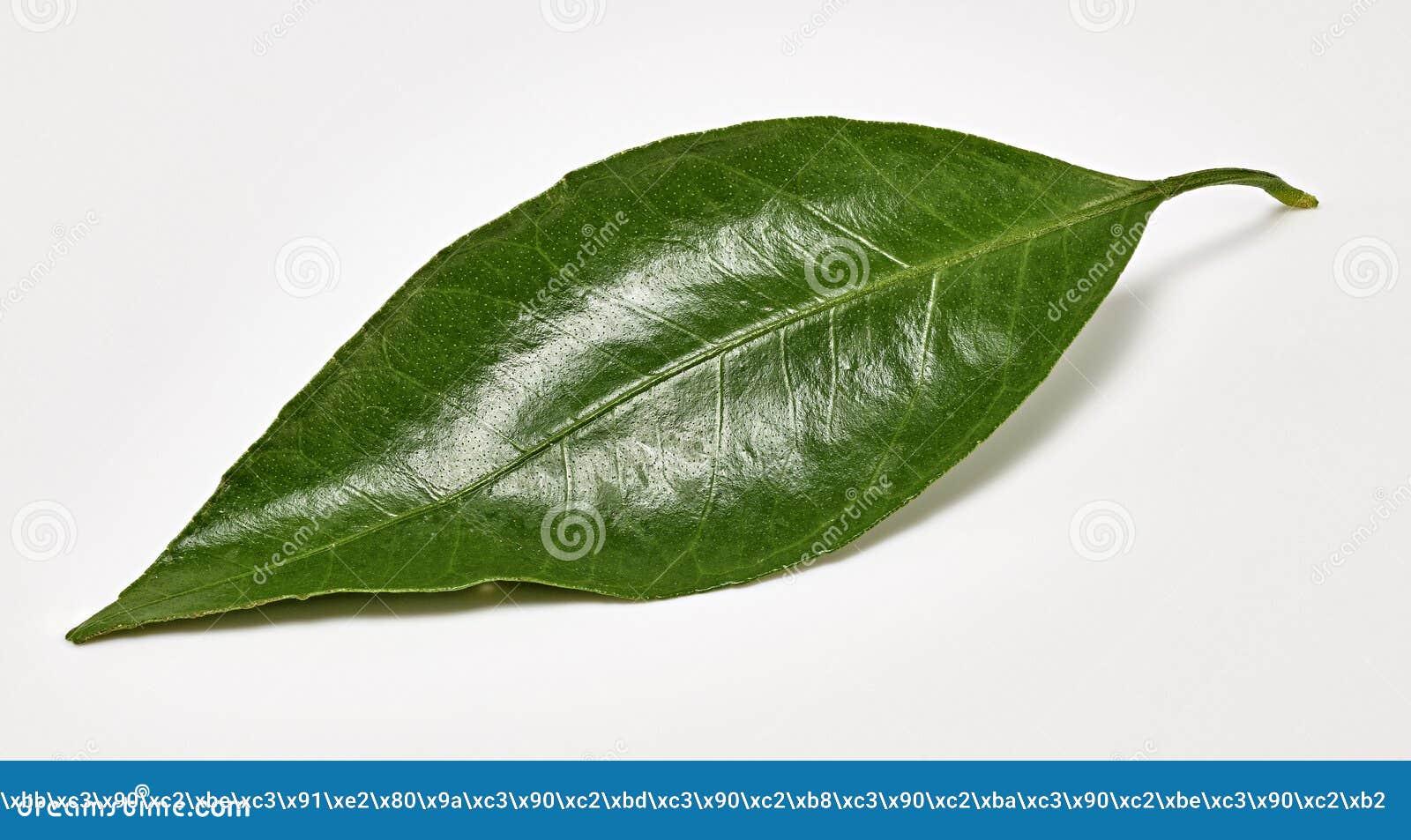Сияющие зеленые лист tangerine на белой предпосылке Стрельба макроса