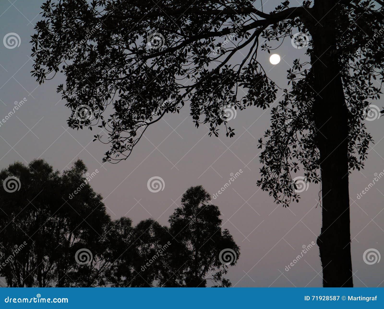 Силуэты дерева к ноча полнолуния