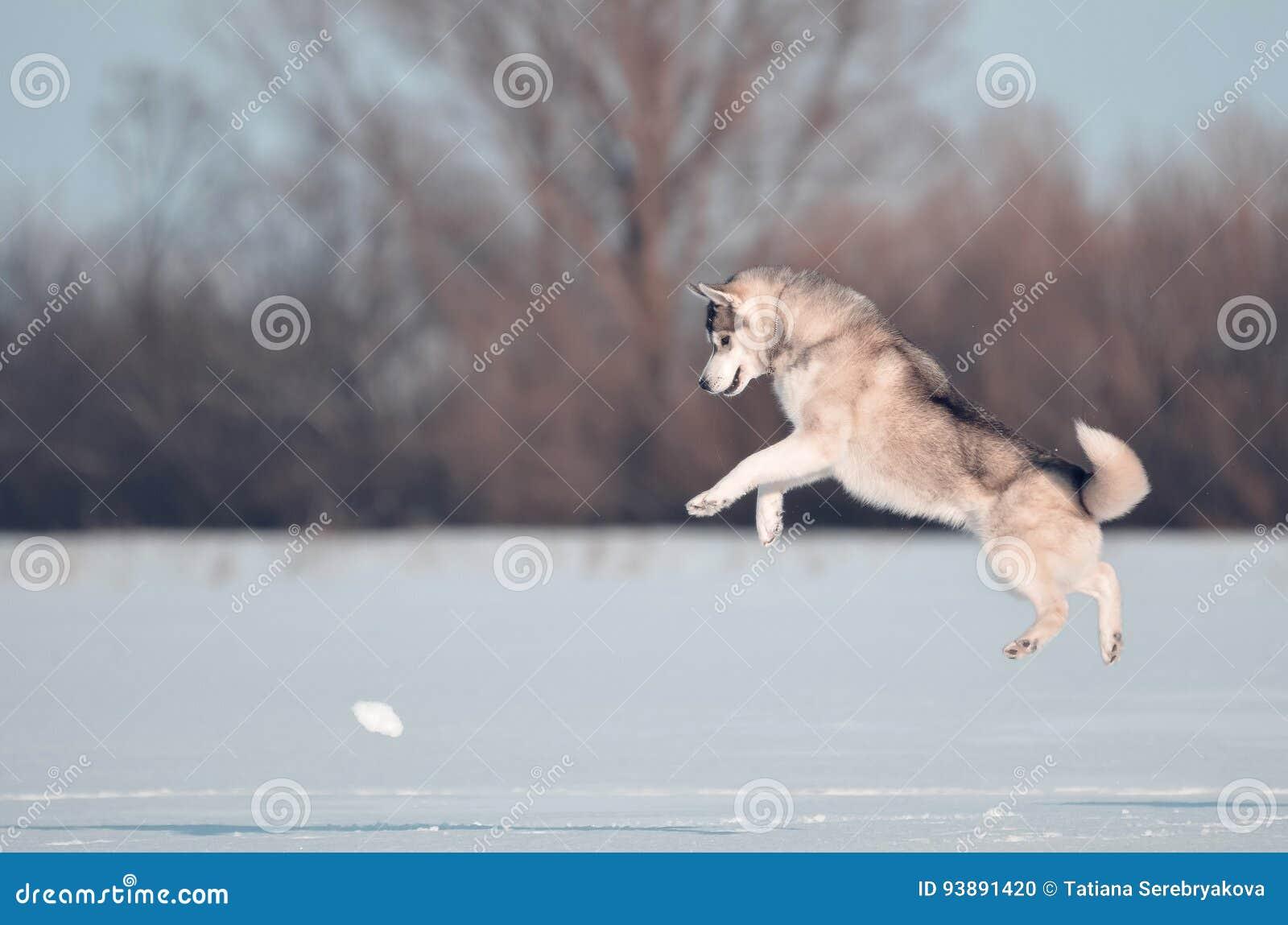 Скакать собаки сибирской лайки серый и белый в луг снега