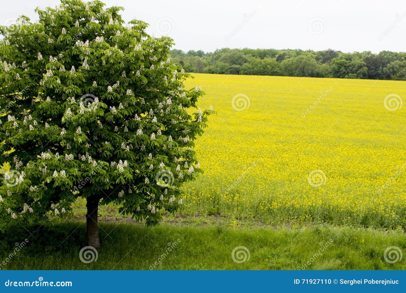 Скачет blossoming дерево против поля рапса, вопроса