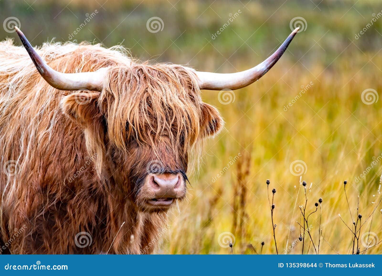 Скотины гористой местности - Bo Ghaidhealach - Heilan воркуют - шотландская порода скотин с характерными длинными рожками и длино