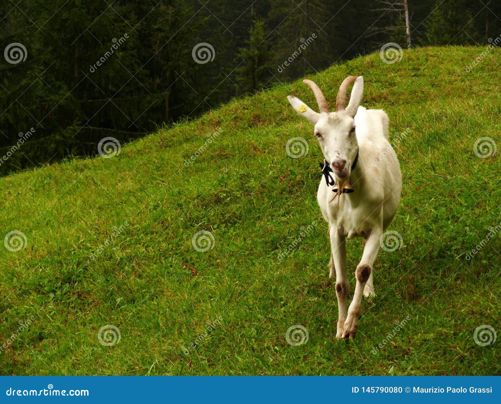 Славная коза в зеленом луге
