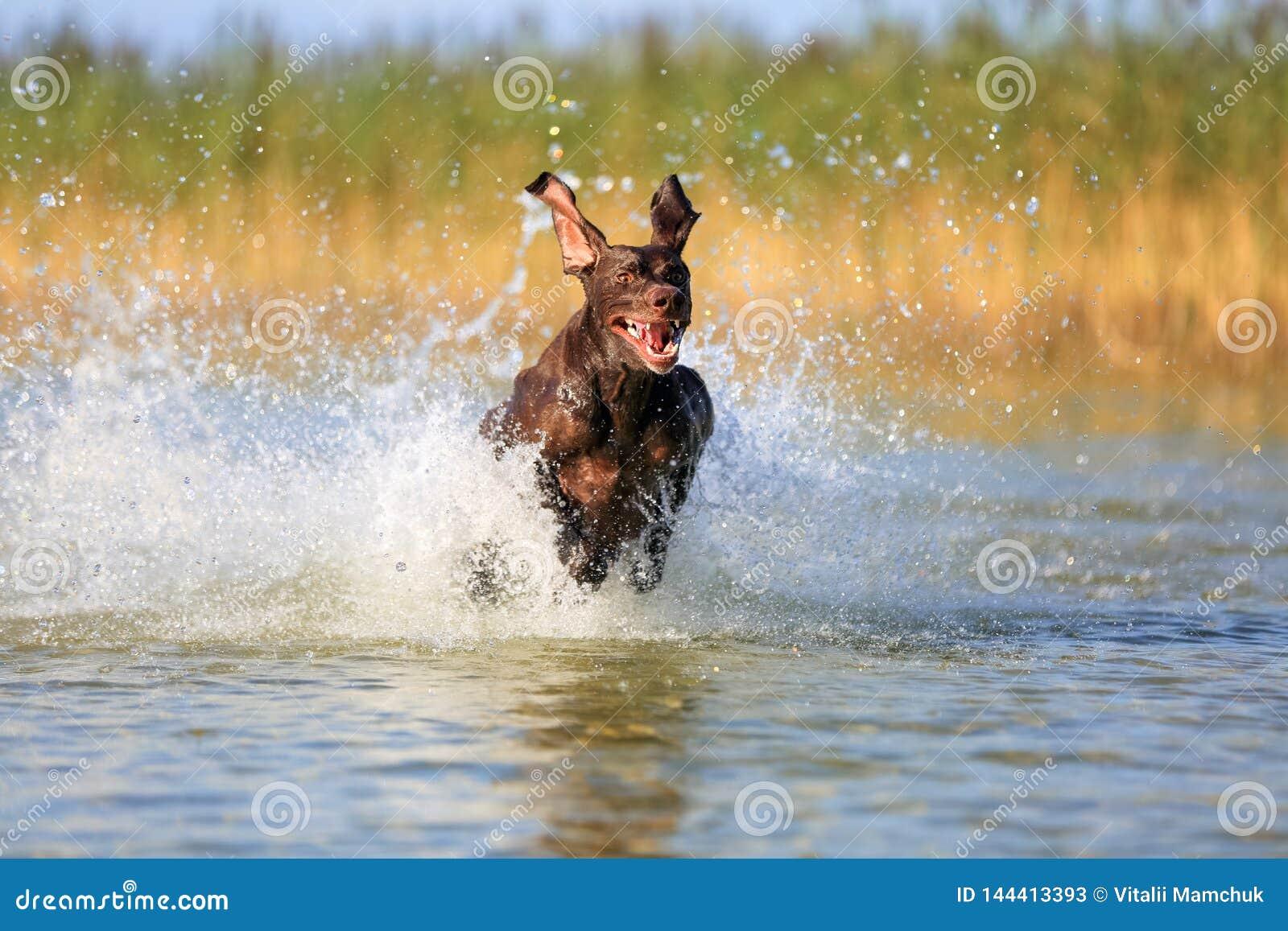 Славный портрет цвета коричневого цвета shorthaired указателя охотничьей собаки племенника немецкого Смешные уши указывая на разл