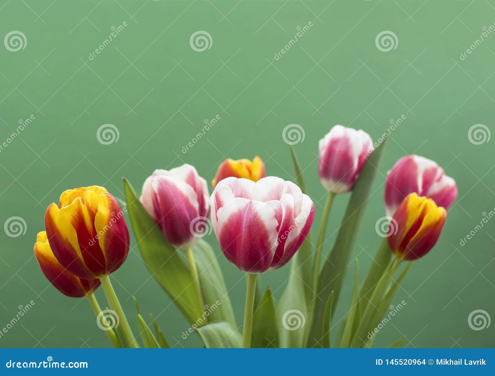 Сладкие тюльпаны на зеленой предпосылке