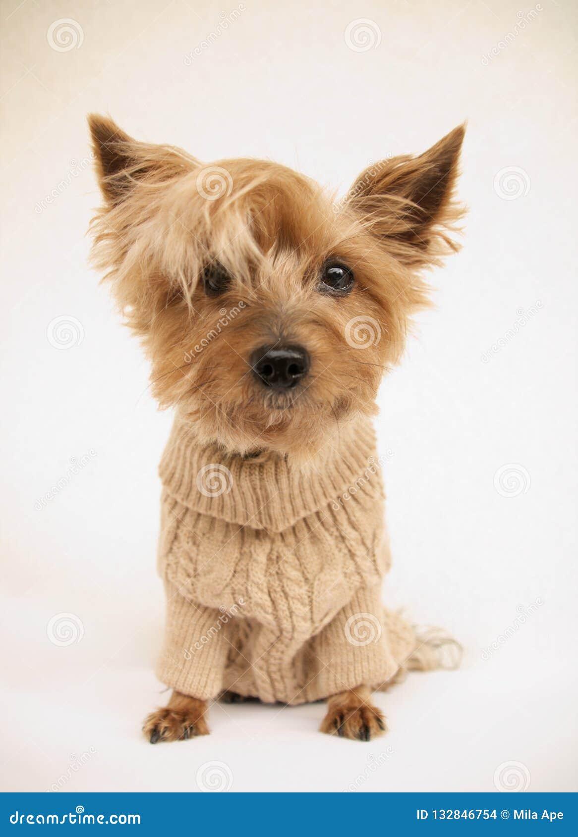 сладкий йоркширский терьер doggy