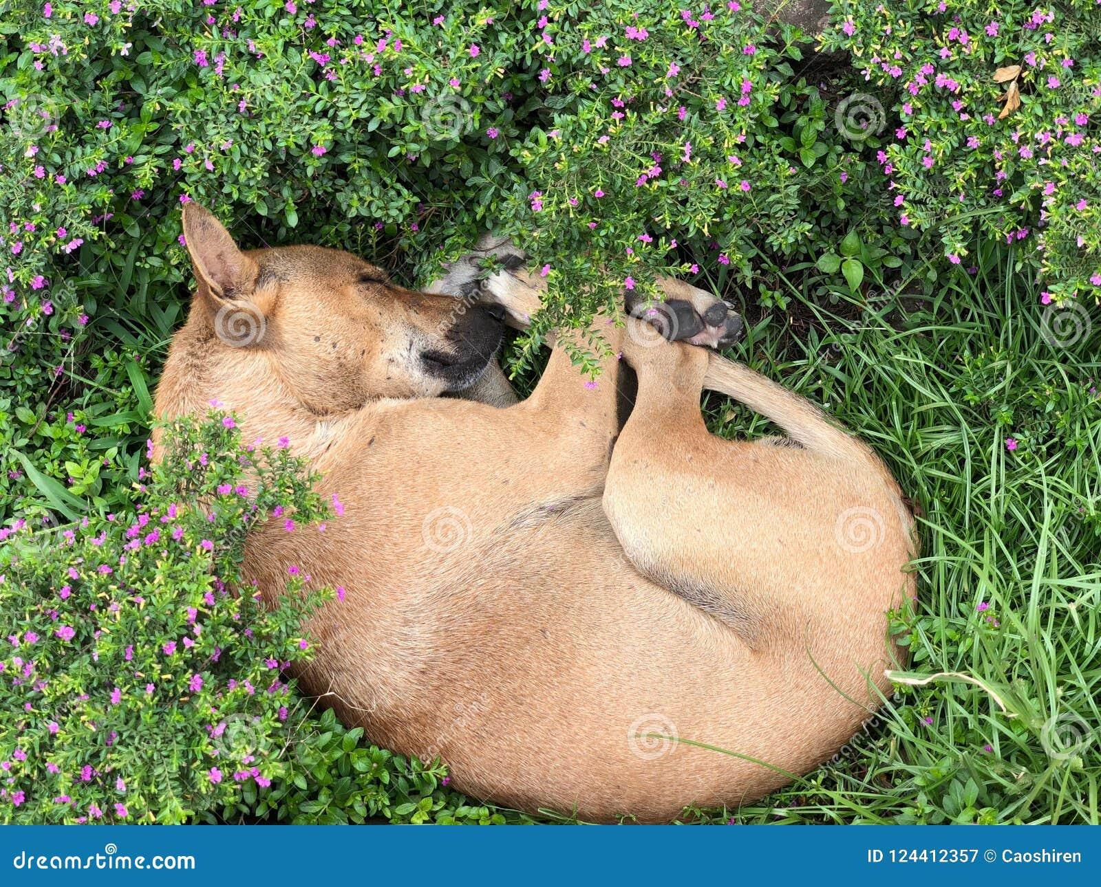 Сладостная мечта собаки в цветках, Дакки