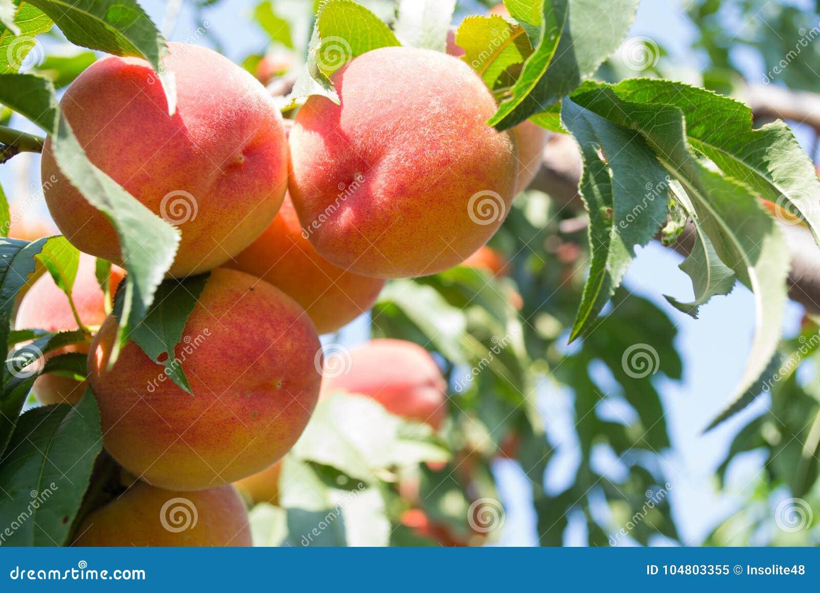 Сладостные растущие плодоовощей персика на персиковом дереве разветвляют