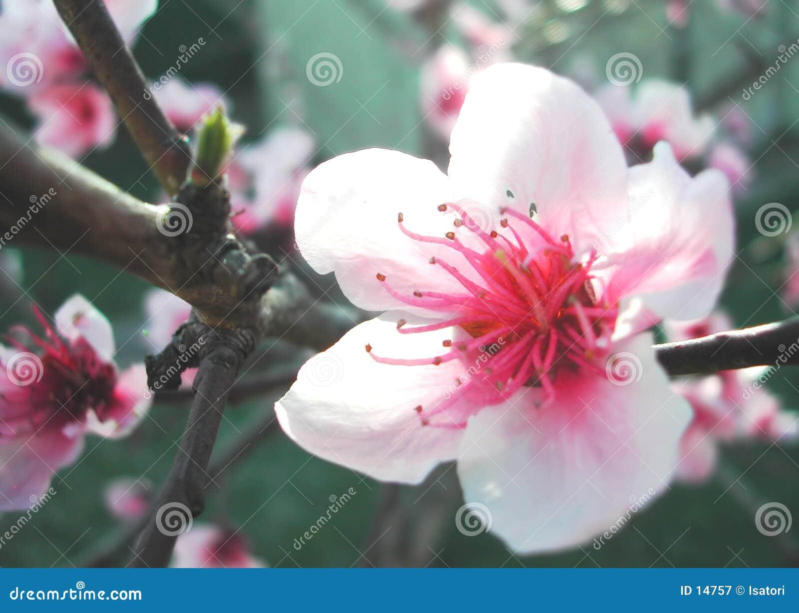 слива цветения
