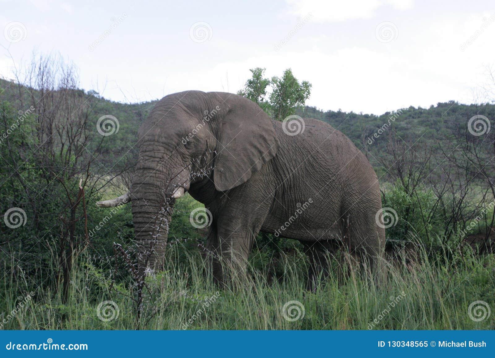 слон Африки африканский южный