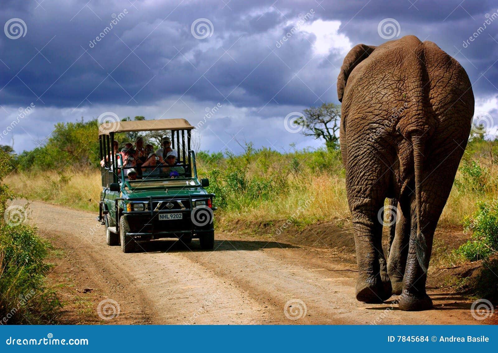 слон Африки южный