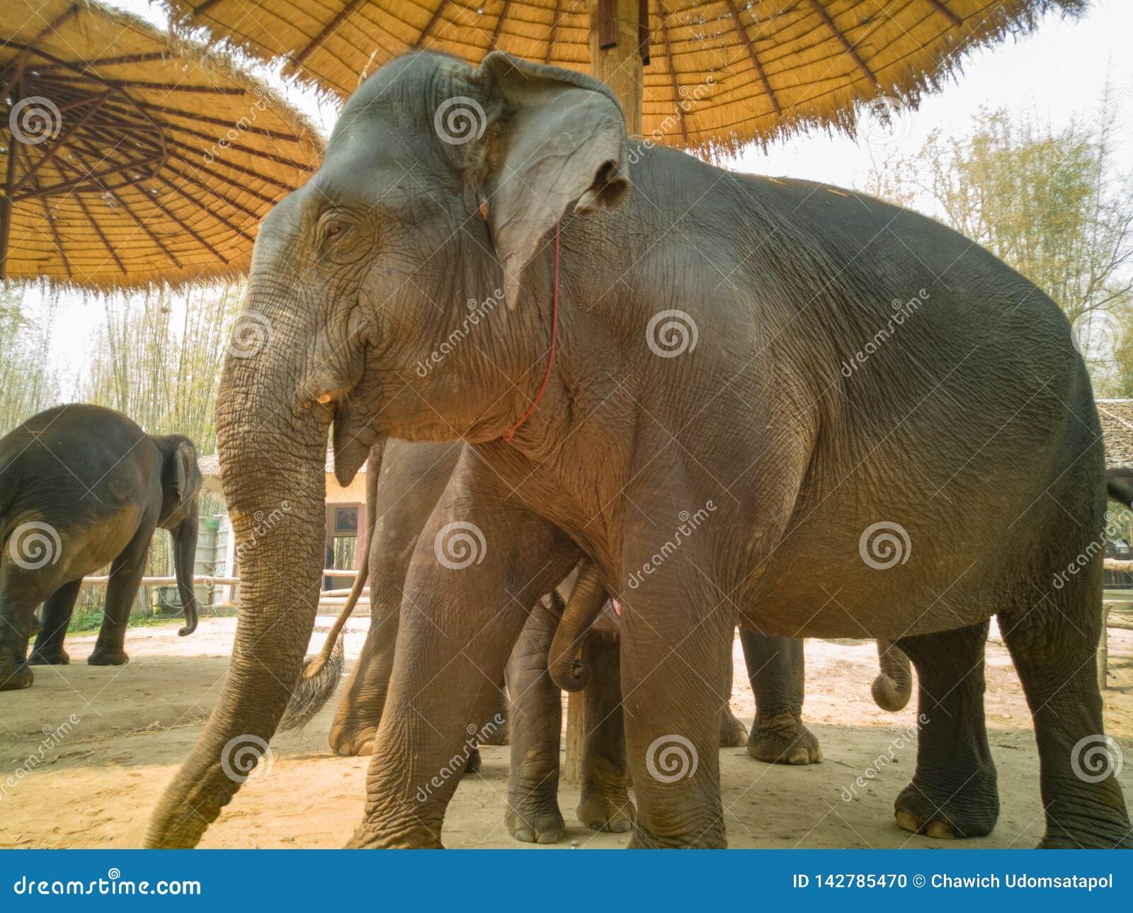Слон кормит грудью к младенцу