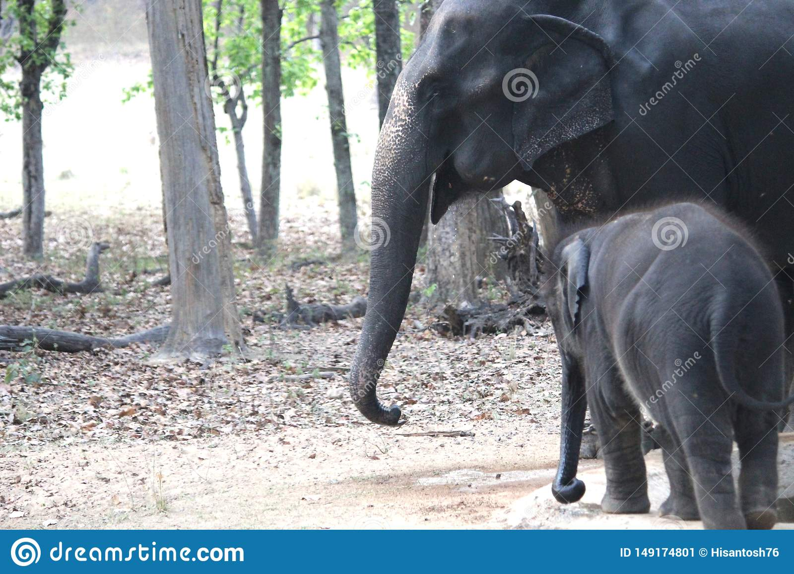 Слон младенца и матери