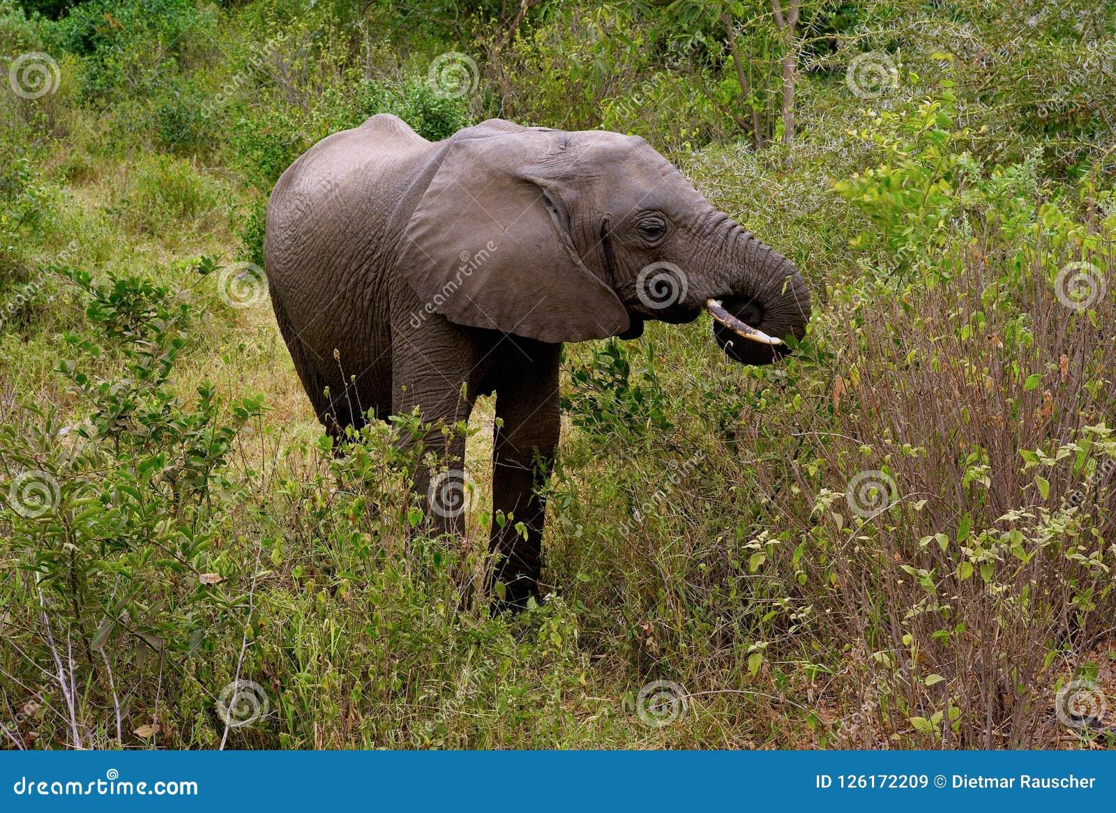 Слон пася в национальном парке Manyara озера