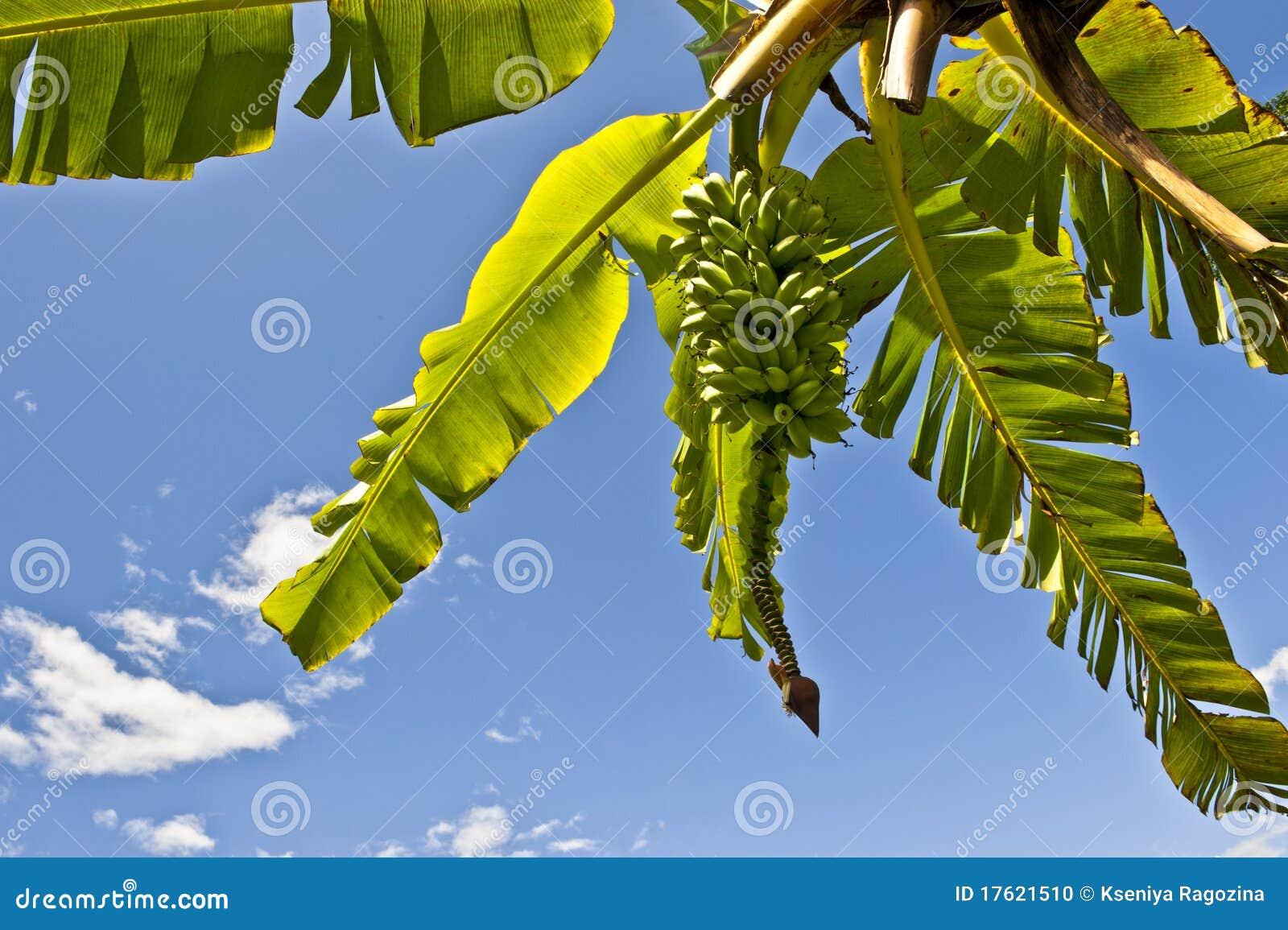 Смертная казнь через повешение пука банана от дерева