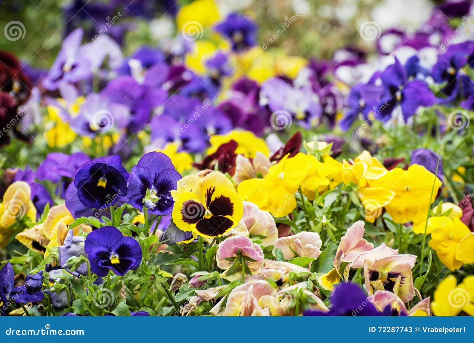Download Смешанные Pansies в саде, красоте в природе Стоковое Изображение - изображение насчитывающей armoring, культивирование: 72287743