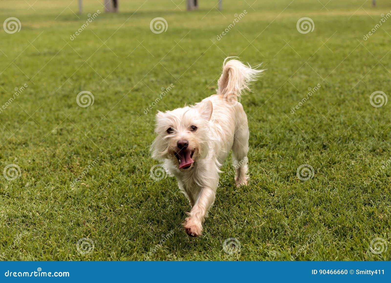 Смешивание собаки терьера