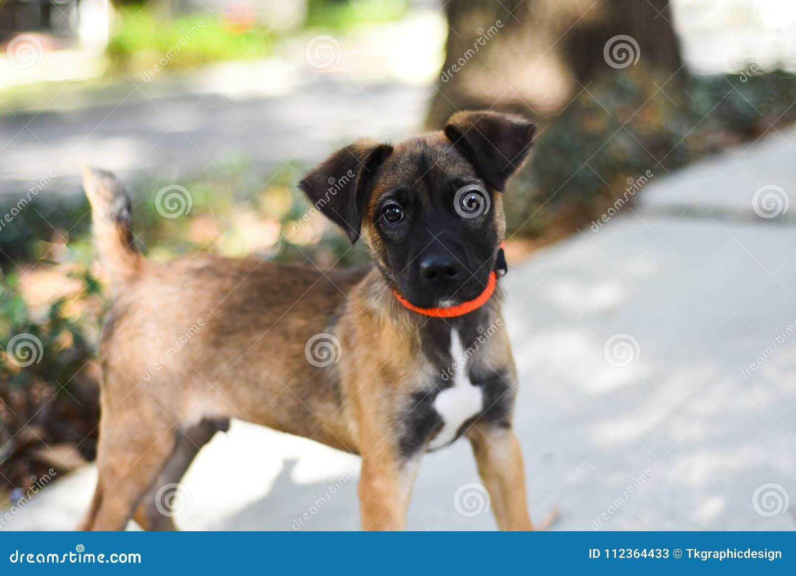 Смешивание щенка Malinois бельгийца