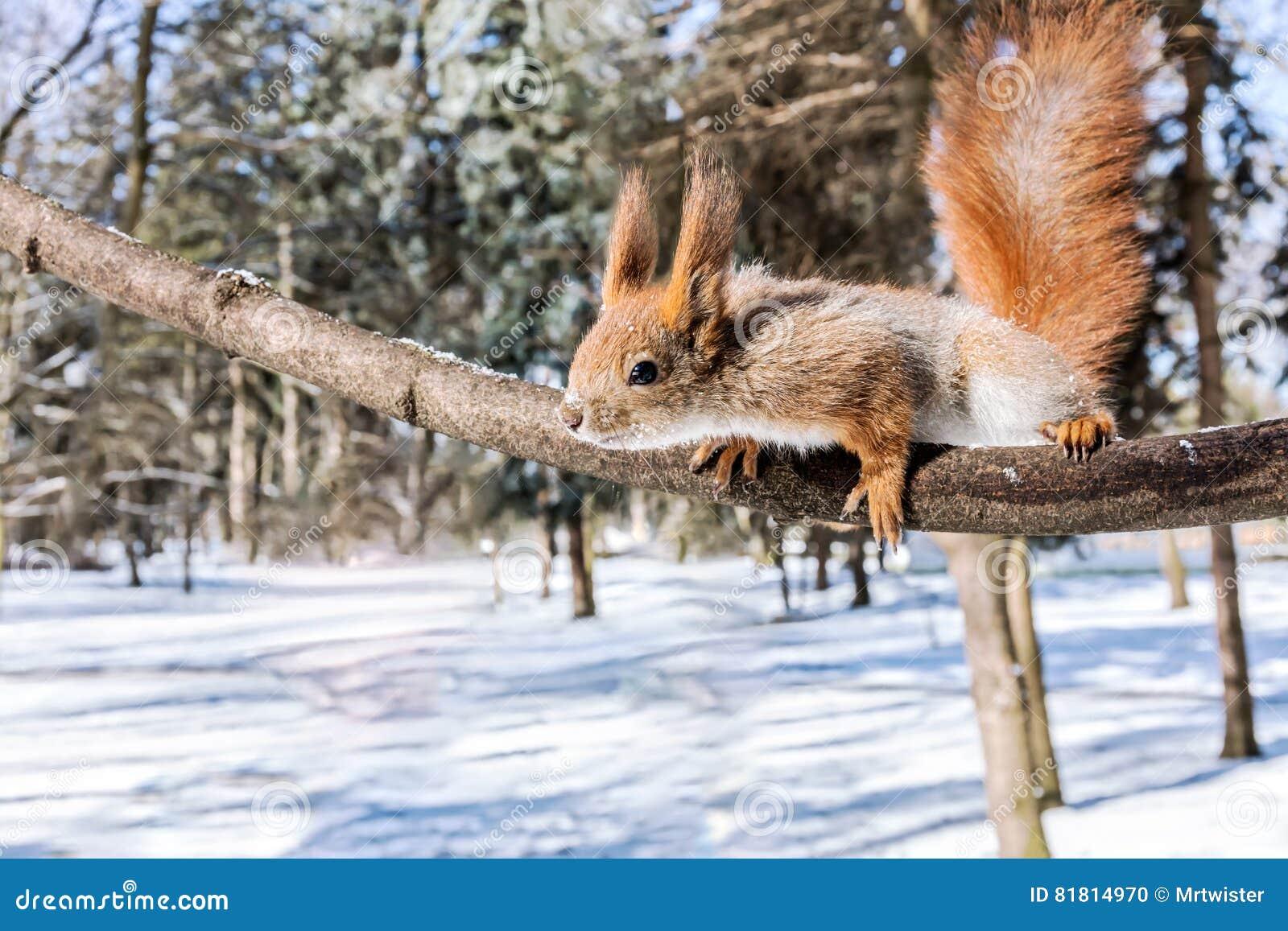 Смешная красная белка достигает после закуски на ветви дерева