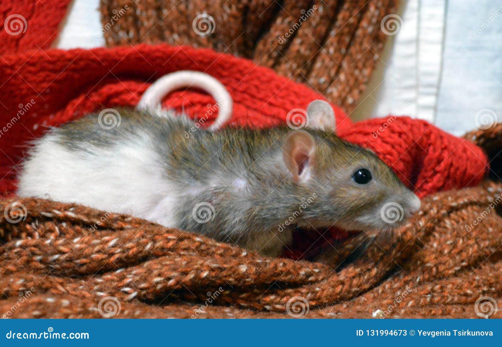 Смешная крыса среди теплых шарфов