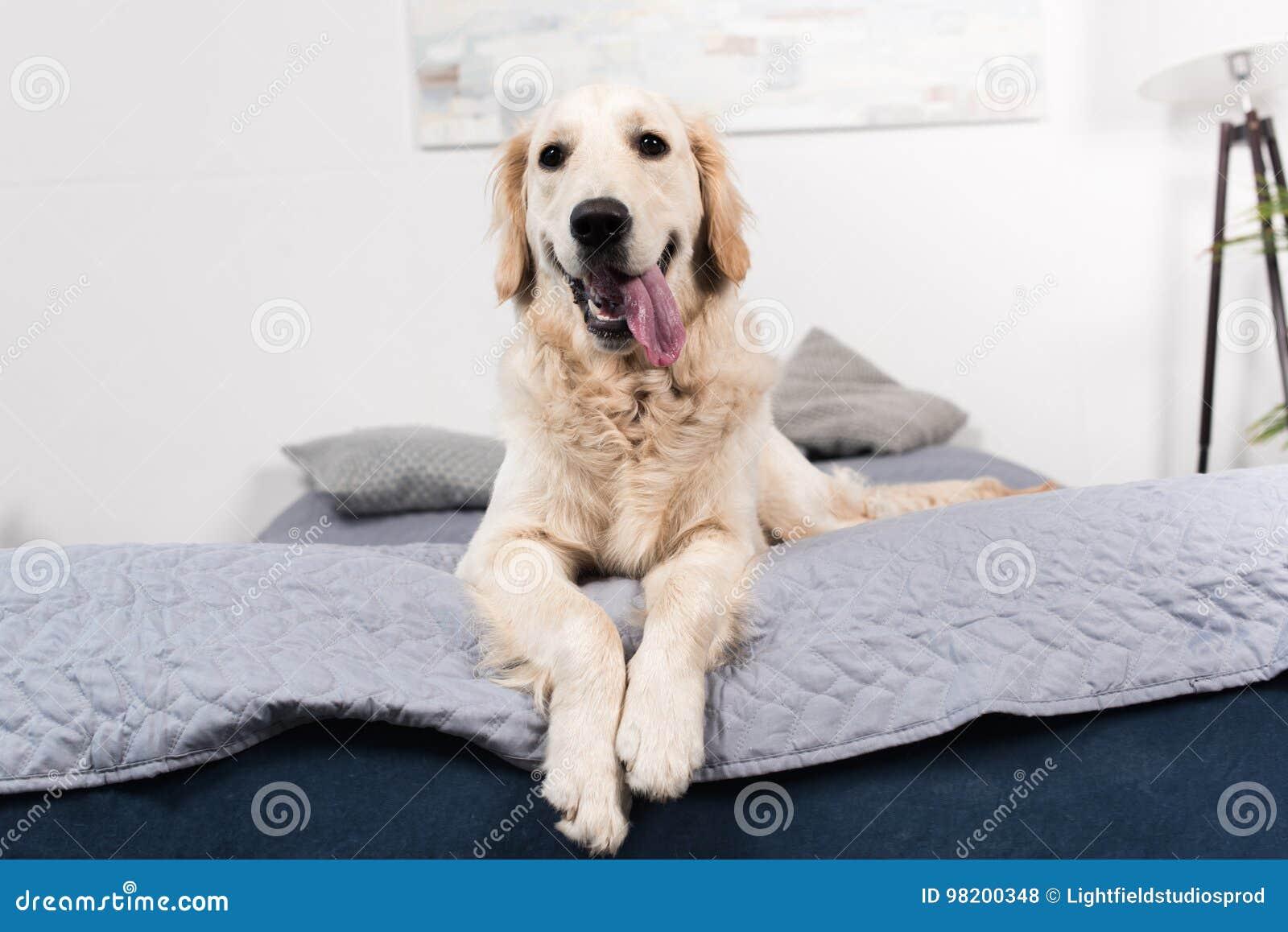 Download Смешная собака золотого Retriever смотря камеру пока лежащ на кровати Стоковое Фото - изображение насчитывающей mammal, друг: 98200348