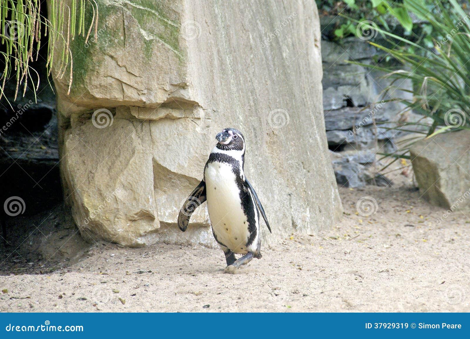 Смешной идти пингвина