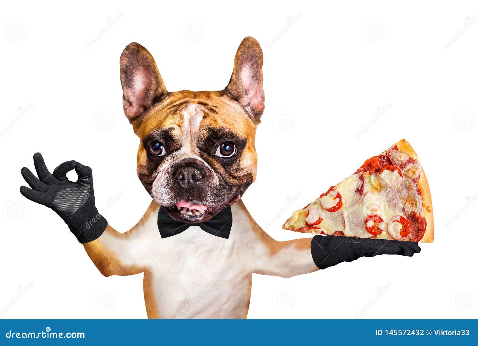 Смешной официант французского бульдога имбиря собаки в черной бабочке держать кусок итальянской пиццы с сыром и томатами и показы
