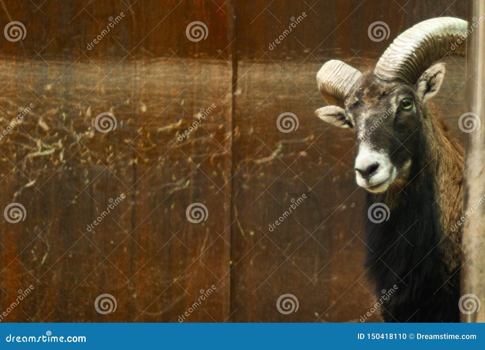 Смешной портрет любопытного черного животного козы