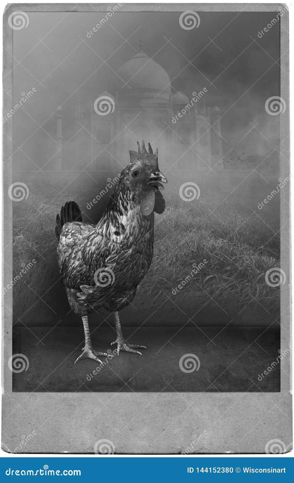 Смешной сюрреалистический винтажный портрет фотографии студии цыпленка