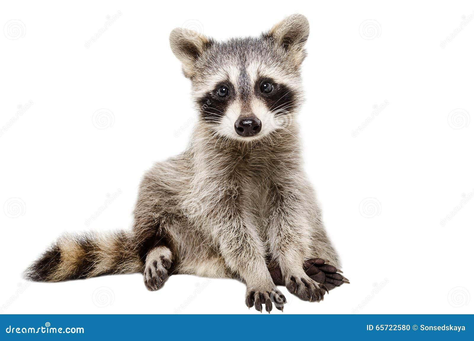 смешной raccoon