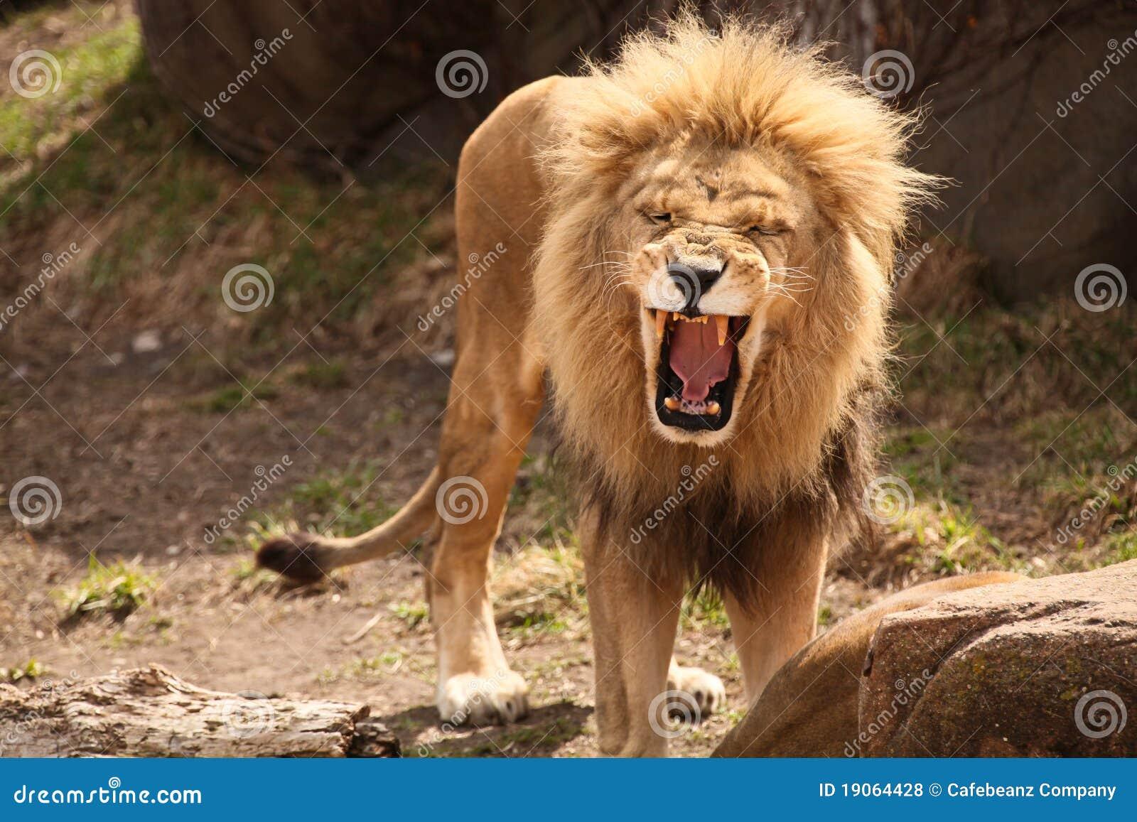 смеясь над львев ревя
