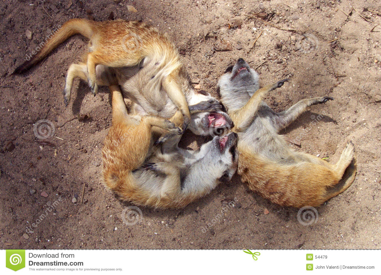смеясь над meerkats