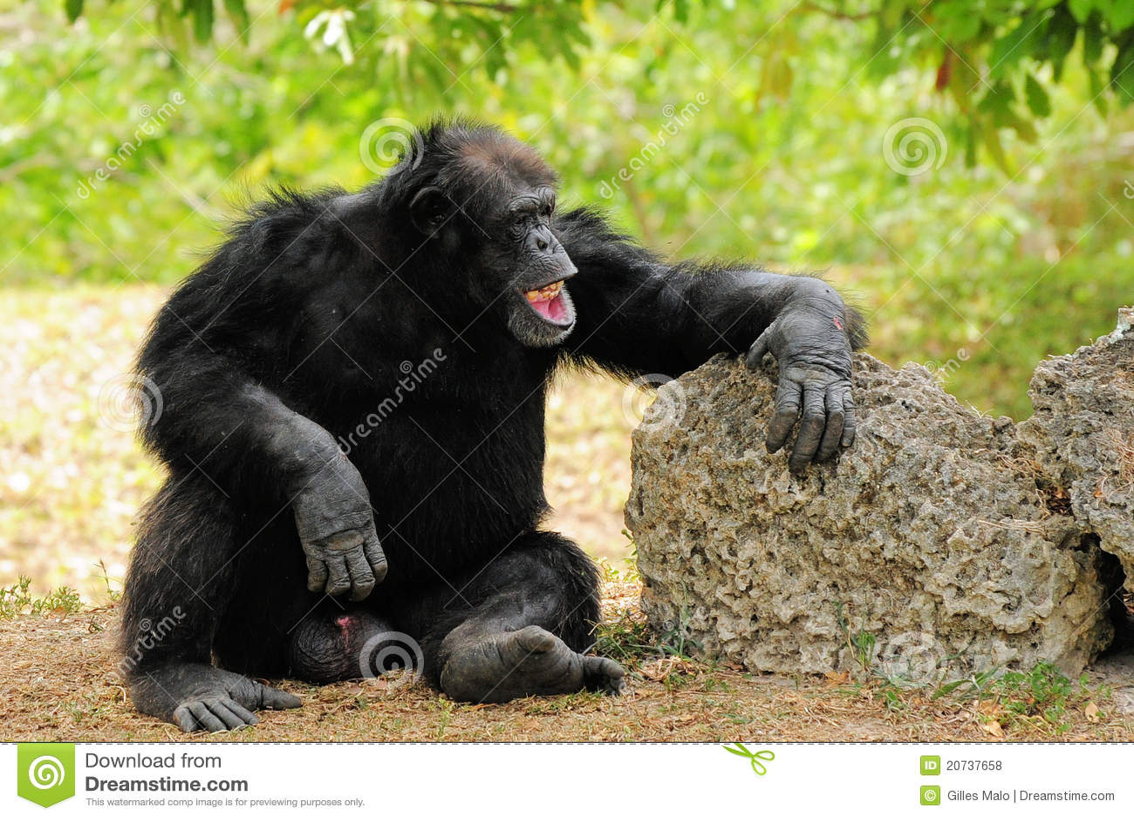 смеяться над шимпанзеа