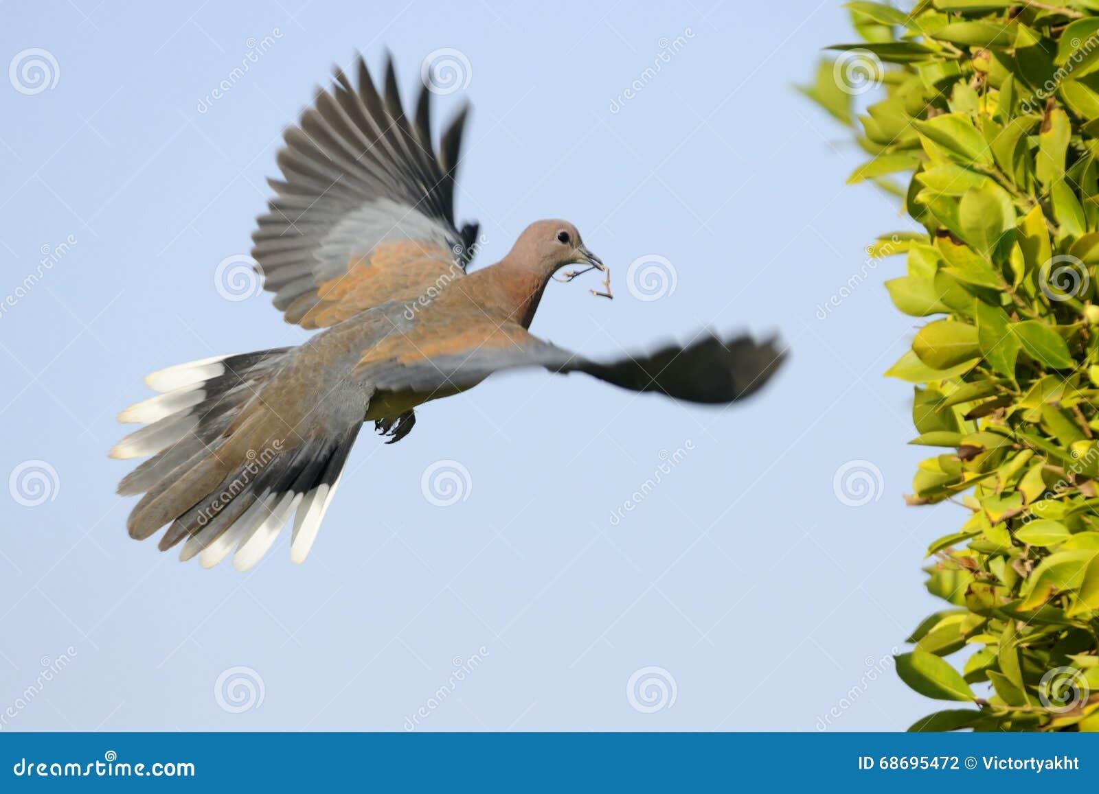 Смеяться над нырнул летание с строительным материалом к гнезду