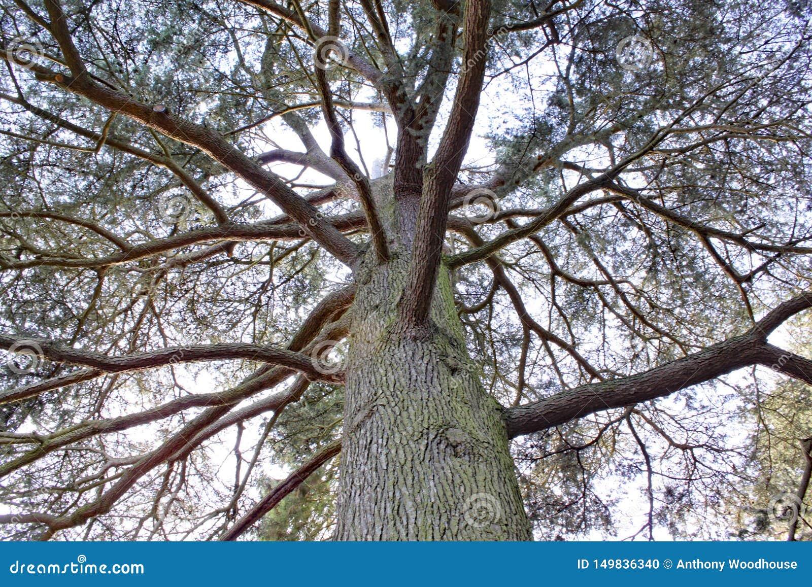 Смотреть вверх в дерево на дендропарке Arley в Midlands в Англии
