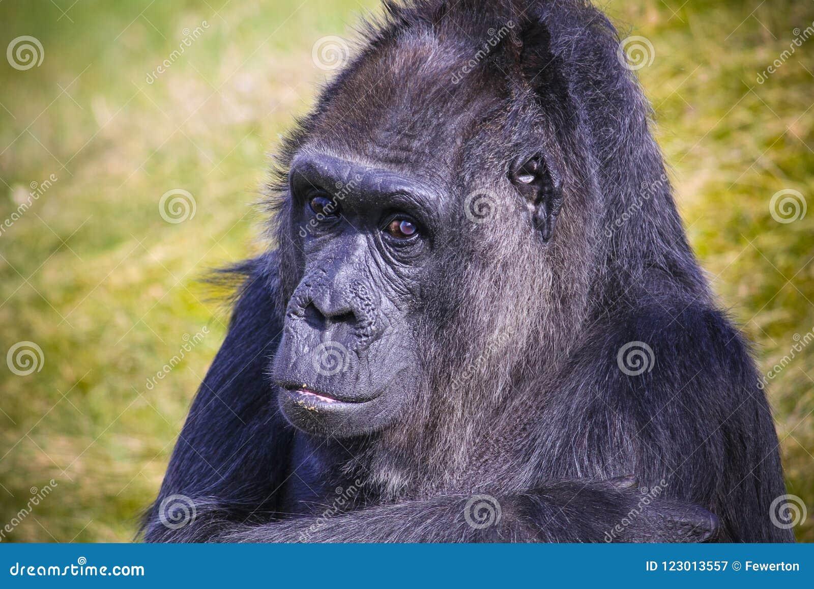 Смотреть вытаращиться гориллы в портрет головы объектива фотоаппарата с из предпосылкой зеленой травы фокуса