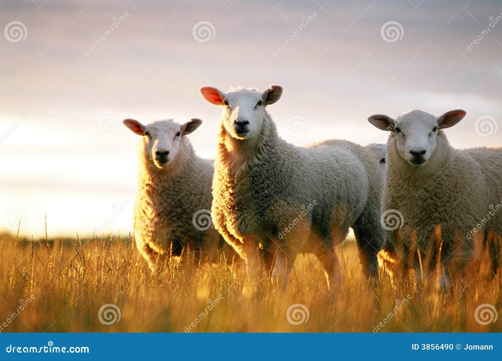 смотреть овец