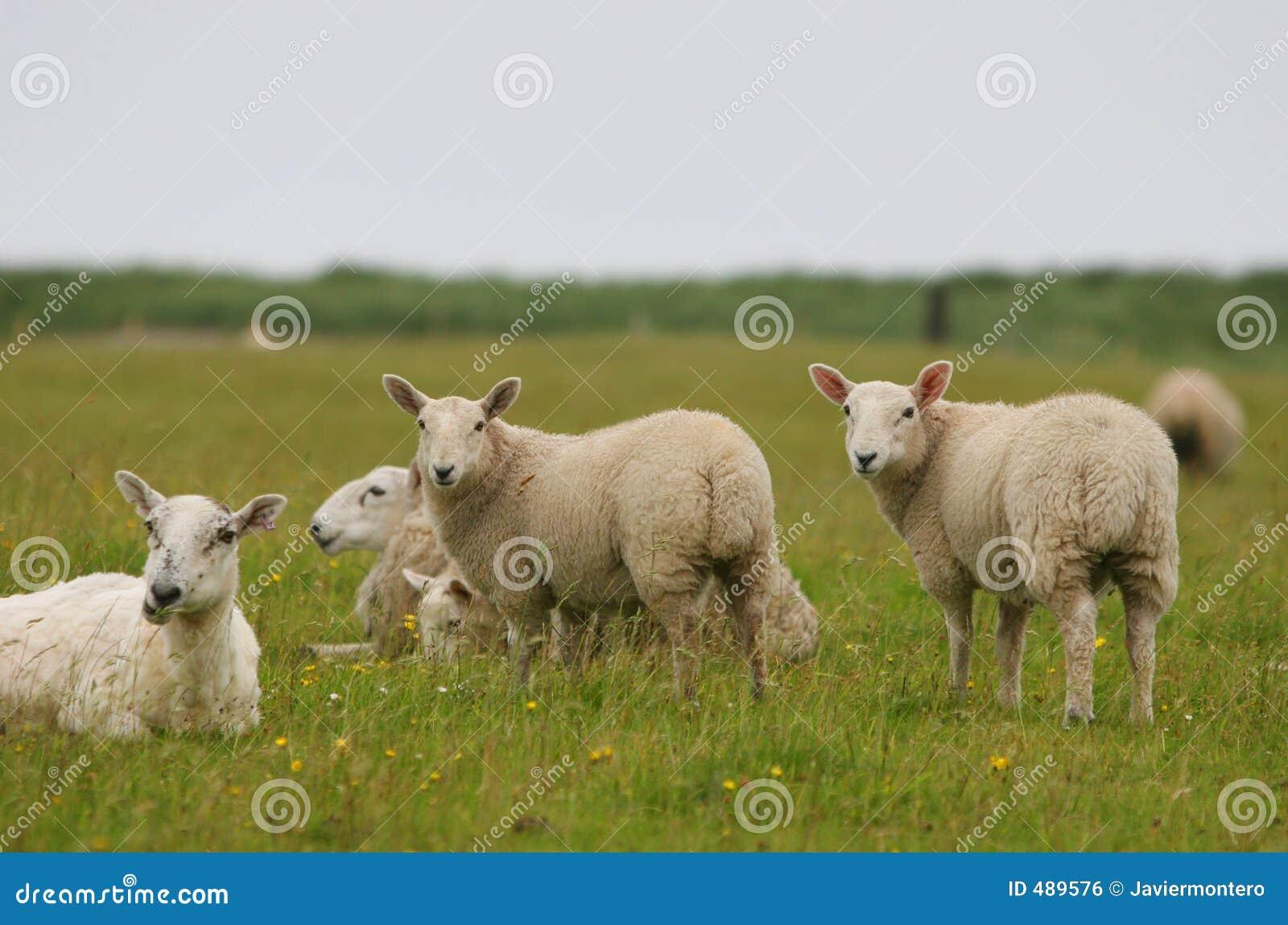 смотрящ sheeps вы