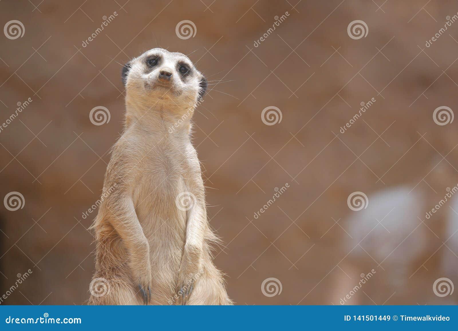 Смущенное Meerkat хочет говорить здравствуйте