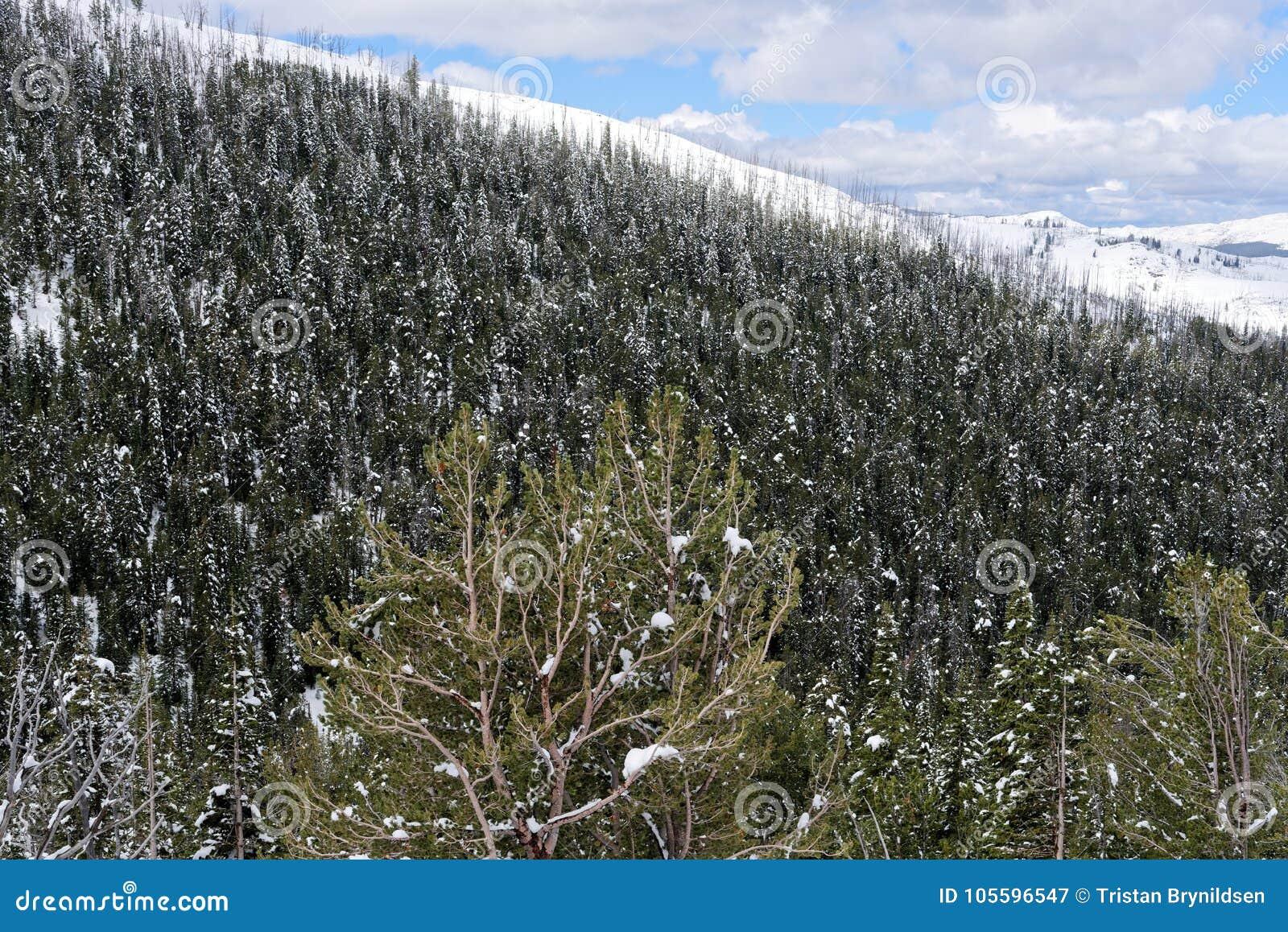 Снег покрыл деревья в национальном парке Йеллоустона