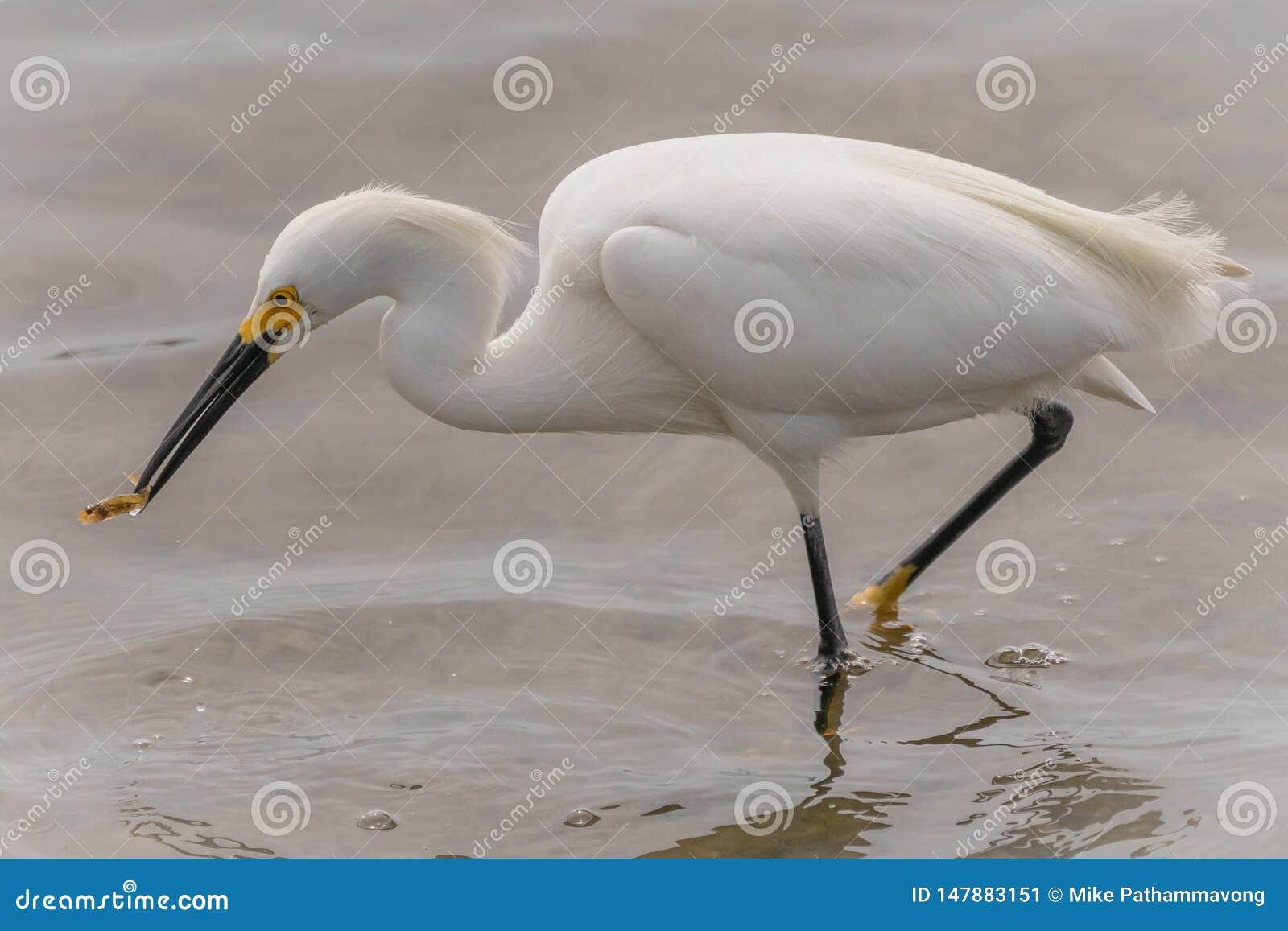 Снежный egret есть рыбу