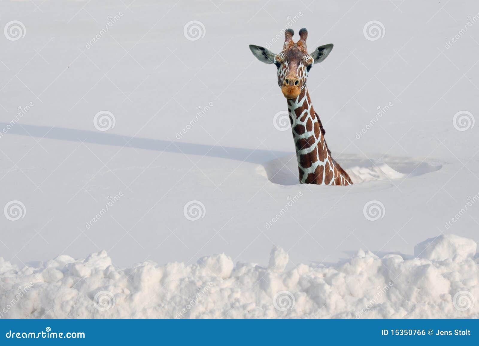 снежок giraffe