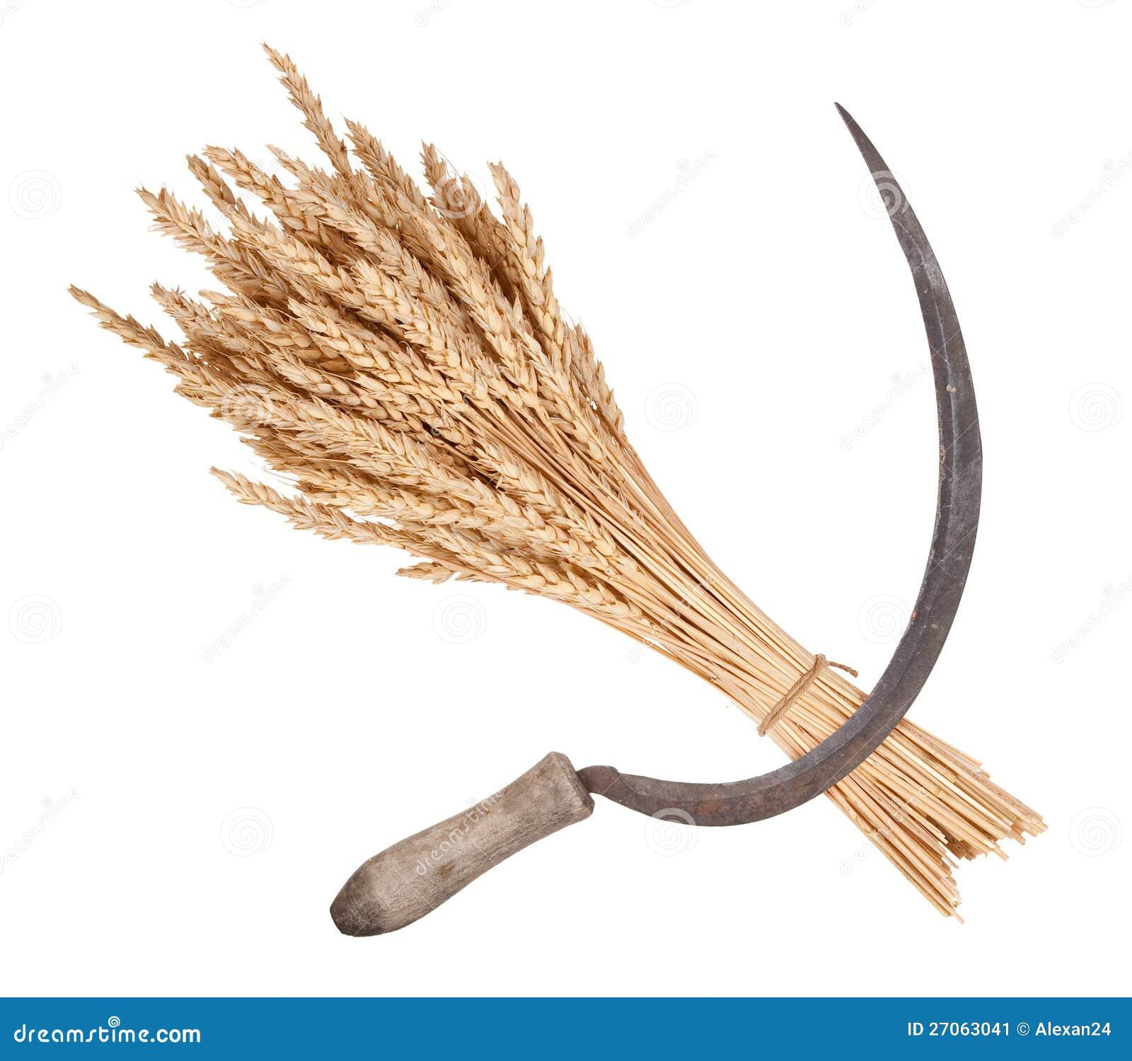 снопы пшеницы