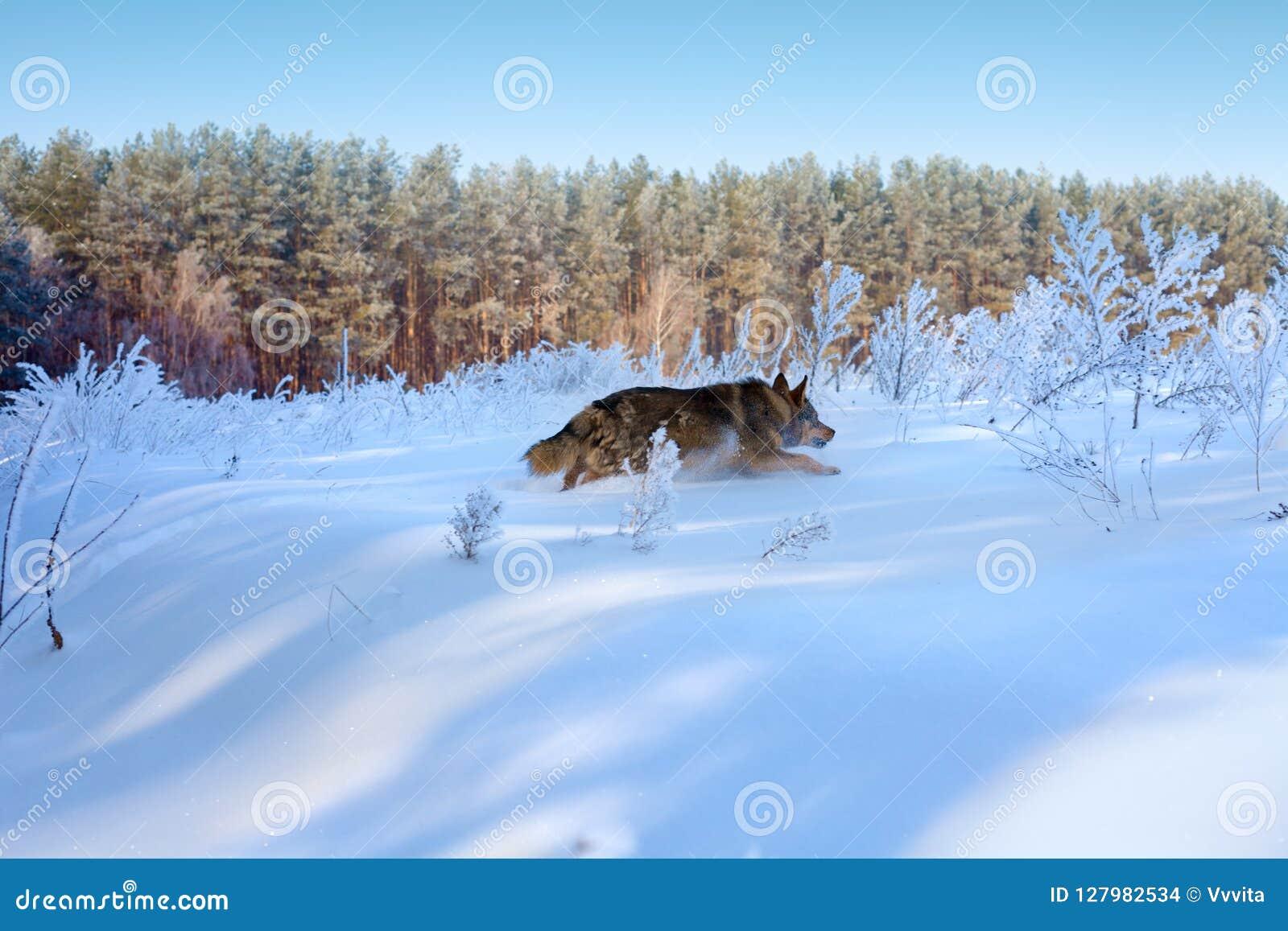 Собака бежать в глубоком снеге