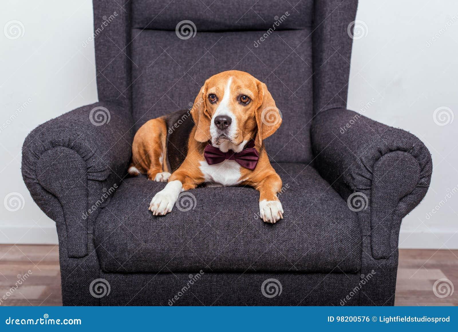 Download Собака бигля в лежать бабочки Стоковое Фото - изображение насчитывающей пушисто, peed: 98200576