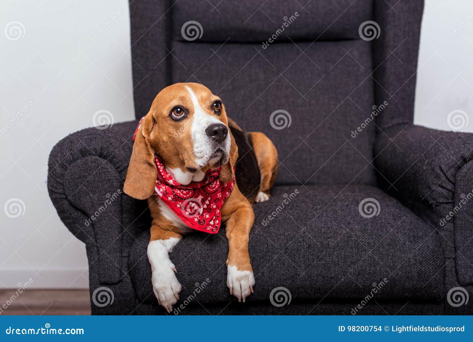 Download Собака бигля в красный лежать Bandana Стоковое Фото - изображение насчитывающей ослаблять, armful: 98200754