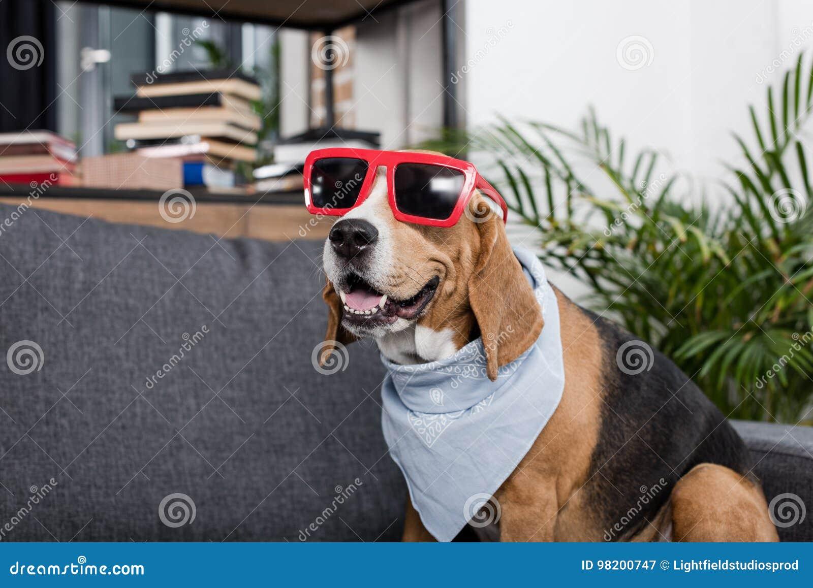 Download Собака бигля в красных солнечных очках и Bandana сидя на софе Стоковое Изображение - изображение насчитывающей портрет, меховой: 98200747